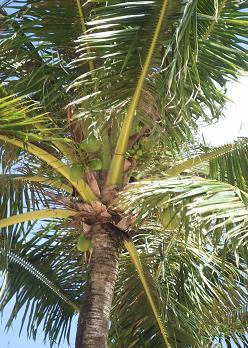 椰子のタ.JPG